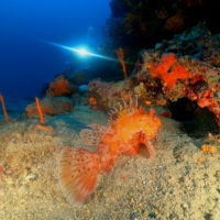 Lionfish - diving in Bodrum with Aquapro